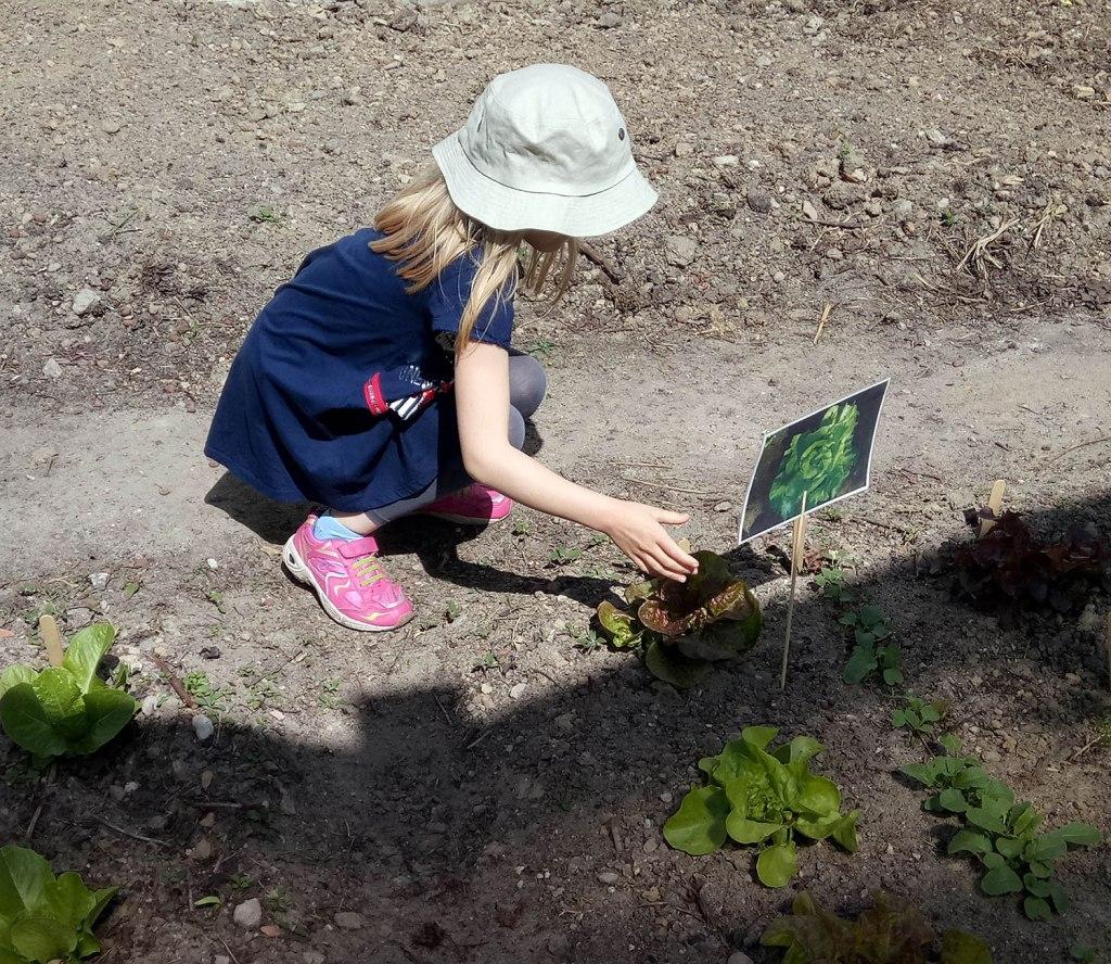 Kind vor eingepflanzten Salatköpfen